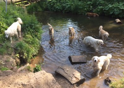 dogs in river